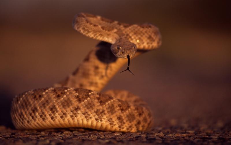 1.Western-Diamondback-Rattlesnake
