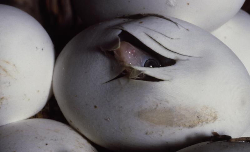 12.Trans-Pecos-Rat-Snake